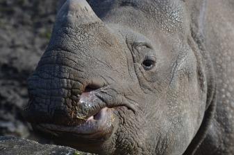 rhino-3247846_640