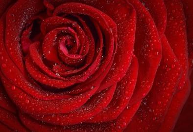 rose-1642970_640