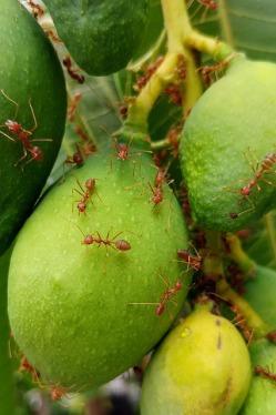 fire-ants-2783019_640
